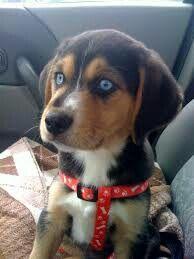 Beagle/husky mix