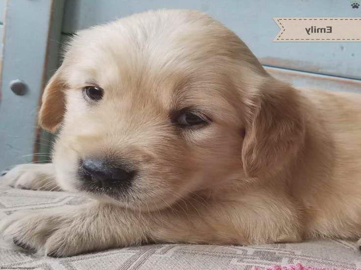 Golden Retriever Puppies For Sale In Pa Under 300 Petsidi Golden Rosie Golden Retriever Puppy For Sale In Christi In 2020 Golden Retriever Puppies For Sale Retriever