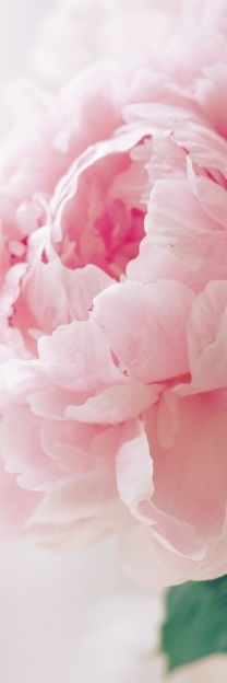 pink peony my favorite!