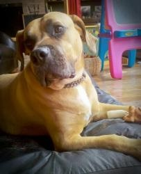 NALA is an adoptable Boerboel Dog in Simonton, TX. Nala is a six year old female, 122 lb, pure-bred South African Boerboel from Proffer's Kennel. Her birthday is December 12. Friends of her family gav...