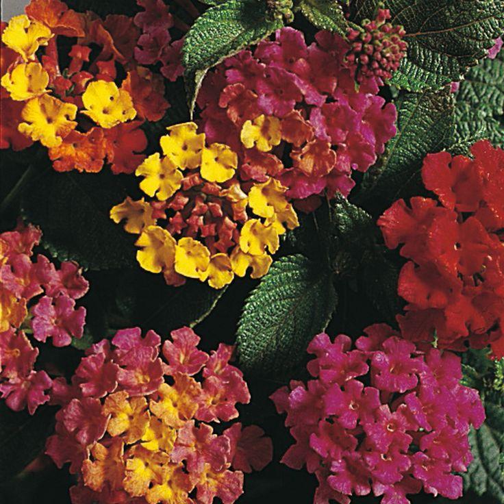 Lantana camara 'Mixed Hybrids' - Perennial & Biennial Seeds - Thompson &…