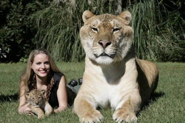 The Name Of This Cat Is Hercules A Feline Liger Which Is Cross Between A Lion With A Tiger Ligers Usually Measure 3 5 To 4 Meters Lo Animals Liger Wild Cats