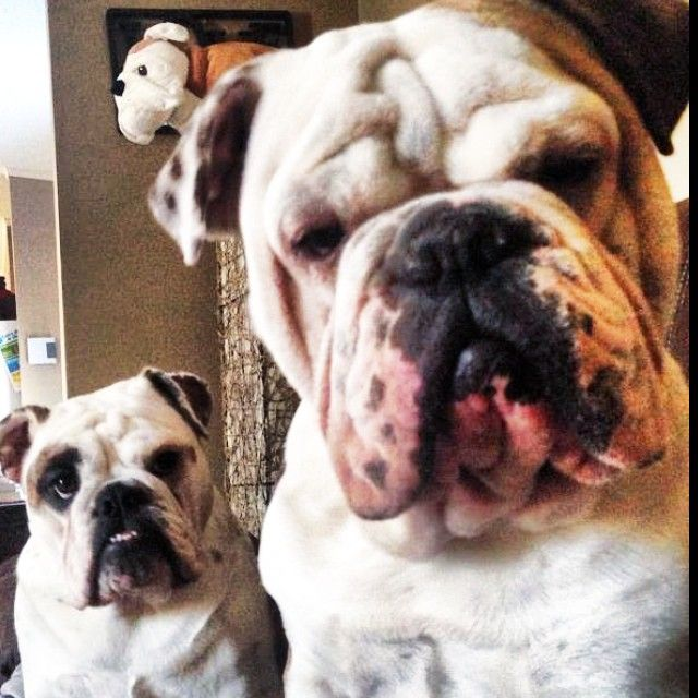 #English #Bulldog