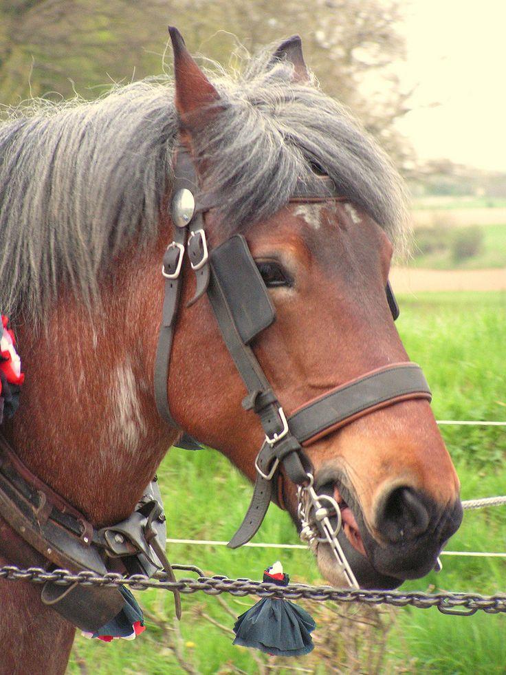 belgisch paard, den haolen Noorbeek