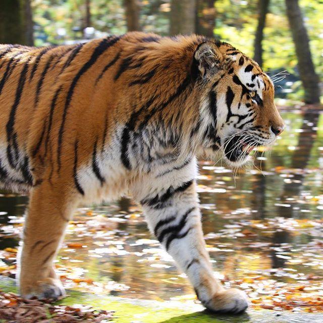 fuji_safari 秋の森を颯爽と歩くアムールトラ。 An Amur tiger walks gallantly in the autumnal forest. #富士サファリパーク #トラ #アムールトラ #秋の森 #颯爽と歩く #動物 #fujisafaripark #tiger #amurtiger #siberiantiger #autumnalforest #animal #wildlife 富士サファリパーク 2017/11/01 23:50:07