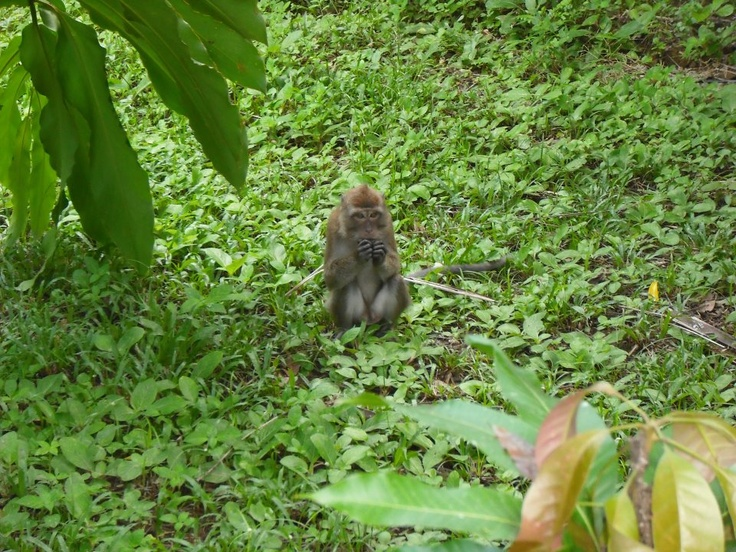 Wild monkey! Saw this when I was walking on a trail in Khao Sok National Park, so cool!
