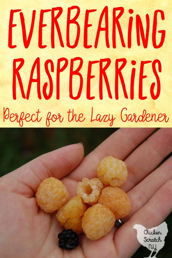 Everbearing or fall bearing raspberries are perfect for the low effort garden, they are easier to maintain and don't require as much effort as traditional summer bearing raspberries. Learn more and find out if they are right for you #growyourownfruit #begginergardening #fruitgarden #raspberries #goldenraspberries