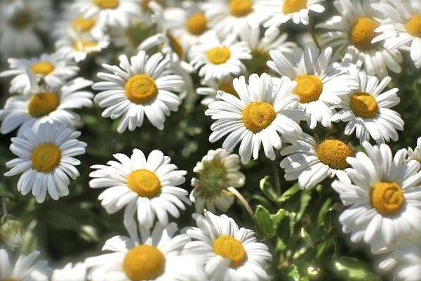 Montauk Daisy