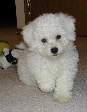 I dog sat a POOCHON and now have fallen in love with them. They are so cute full of energy but also very smart. Great Pooch to have around