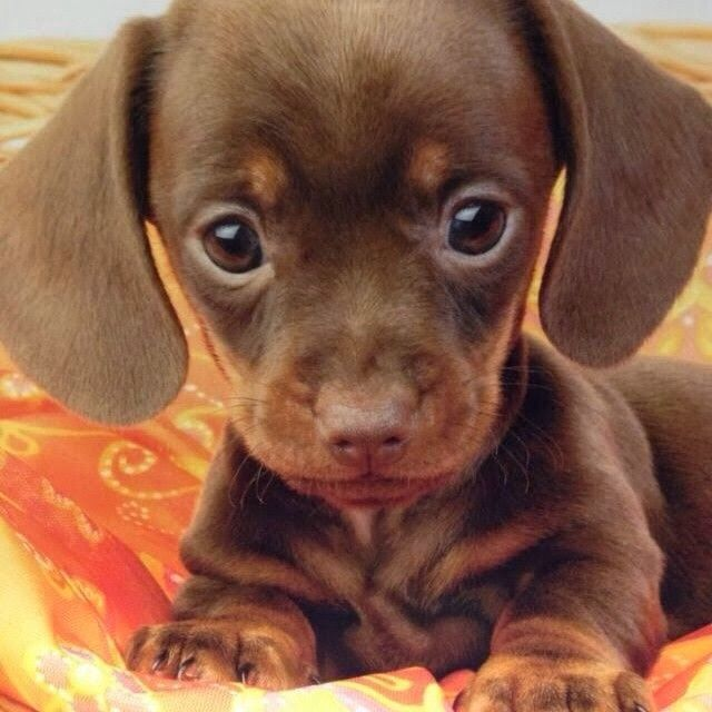 pictures of baby daushound   Baby dachshund!   All the furry woodland creatures!