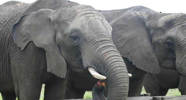 Elephants by Jessolomew, via Flickr