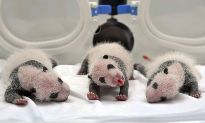 Newborn giant panda triplets are seen inside an incubator at the Chimelong Safari Park in Guangzhou, Guangdong province, China