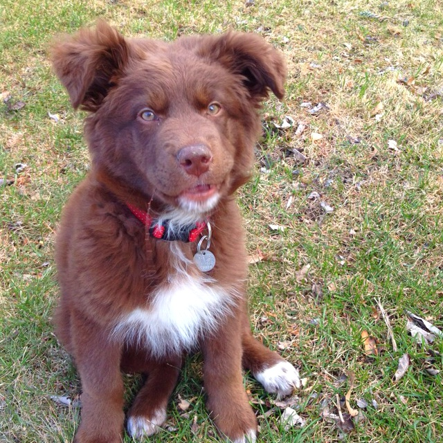 Our beautiful 12 week old puppy 'Balou'. He's a border collie x chocolat labrador mix. He looks just like a little bear!