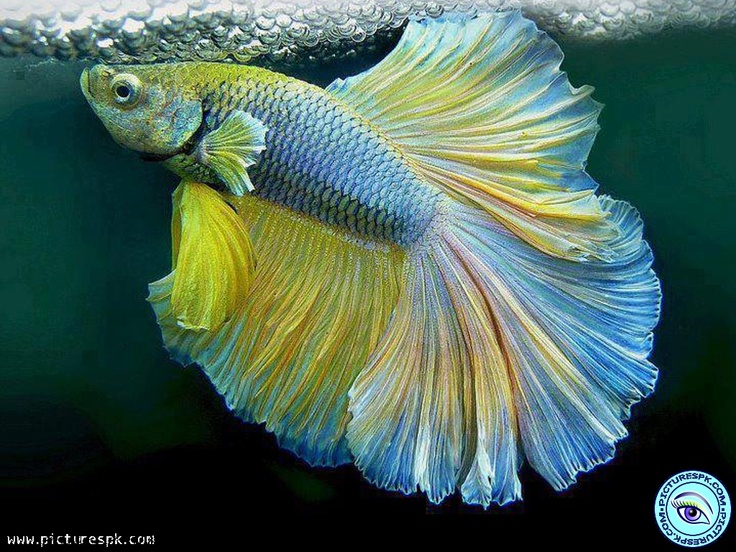 10 best colorful fish images on pinterest water animals for Colorful tropical fish