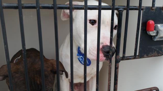 01/06/17~~ SUPER SUPER URGENT - HOUSTON Review date is now Tuesday, January 17th  This DOG - ID#A475157  I am a male, white and brown Pit Bull Terrier.  The shelter staff think I am about 8 months old.  I have been at the shelter since Jan 06, 2017.  This information was refreshed 37 minutes ago and may not represent all of the animals at the Harris County Public Health and Environmental Services.