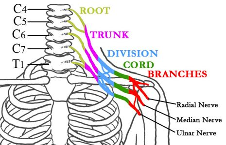 The nerves of the Brachial Plexus in relation to the spine, ribcage, shoulder, and arm.