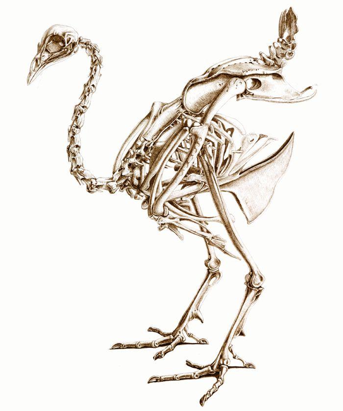 Skeleton Of A Peacock Katrina Van Grouw