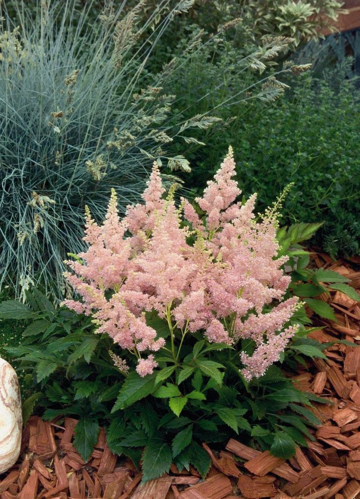 Top 10 Flowers That Bloom all Year  - Perennials are kind of plants that live for years and mostly grow little buds that bloom into roses of different colors. Perennials grow through diffe... -  astilbe-arendsii-astary-pink-b7010-5 - Get More at: http://www.pouted.com/top-10-flowers-that-bloom-all-year/
