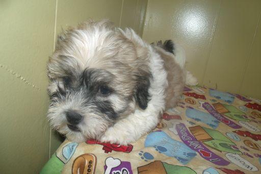 Zuchon puppy for sale in PATERSON, NJ. ADN-49212 on PuppyFinder.com Gender: Male. Age: 9 Weeks Old