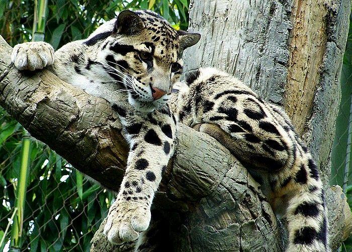 apatani ziro clouded leopard