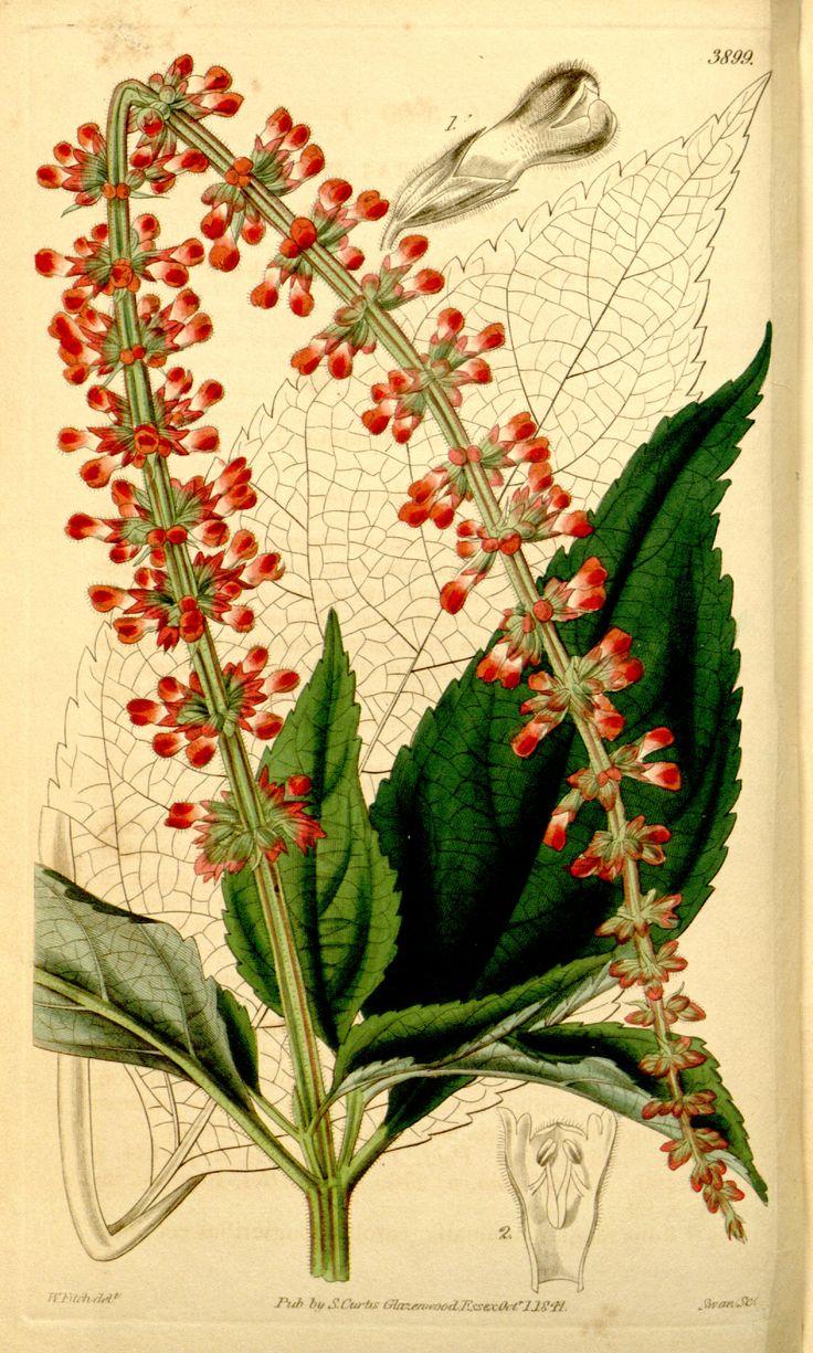 Salvia confertiflora - circa 1842