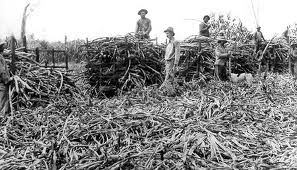 Last of the Kanaka cane cutters 1903. Hinchinbrook Shire Library