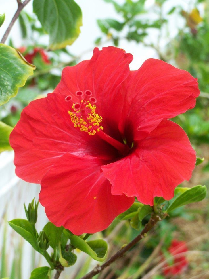 Tropical Hibiscus Care Hibiscus In 2020 Hibiscus Plant Hibiscus Flowers Hibiscus Flower Drawing