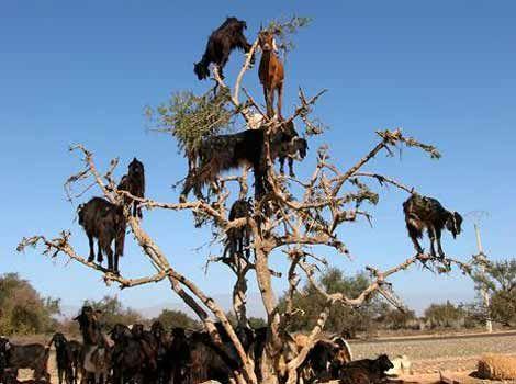 Ağaçta Yetişen Keçiler, hayvanlar alemi, keçiler, inatçı keçi, ağaç, ağaçta yetişenler, farklı hayatlar, hayvanlar, zıplayan keçiler, yemek, yemek için,