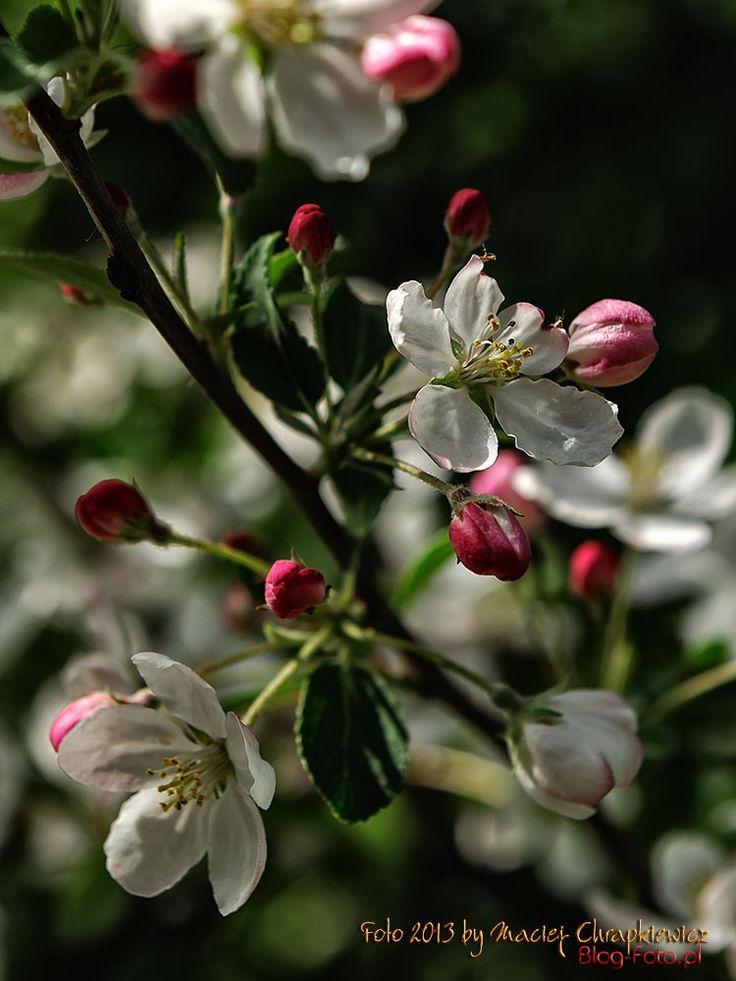 Kwitnące drzewa owocowe