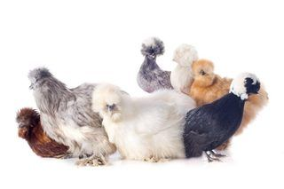 How to Care for Silkie Chickens (with Pictures) | eHow