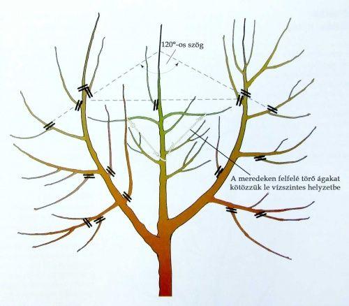 Az almafa koronaalakító metszése