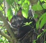 Asian Palm Civet in a tree. From Kerala, India