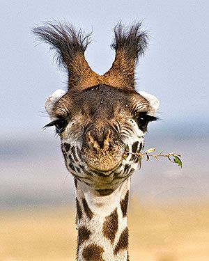 ♀ Animal kingdom wildlife photography African Maasai Giraffe - gotta love giraffes!