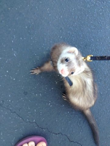 Baby ferret. I want to be able to do this sooo bad! walking a rodent down the street, that would be incredible!