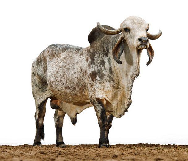 The 25+ Best Zebu Cattle Ideas On Pinterest