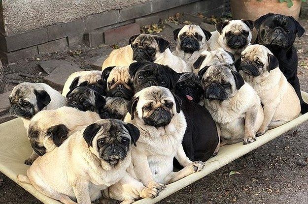 19 Times Pugs Literally Caused The Internet To Implode From Sheer