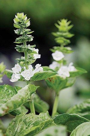 Folhas mais aromáticas Nem pense em manter vivas as flores do manjericão – isso, se quiser consumir folhas cheirosas. As inflorescências roubam todo o aroma das folhas. Conselho: pode-as com freqüência. (Foto: Casa e Jardim)