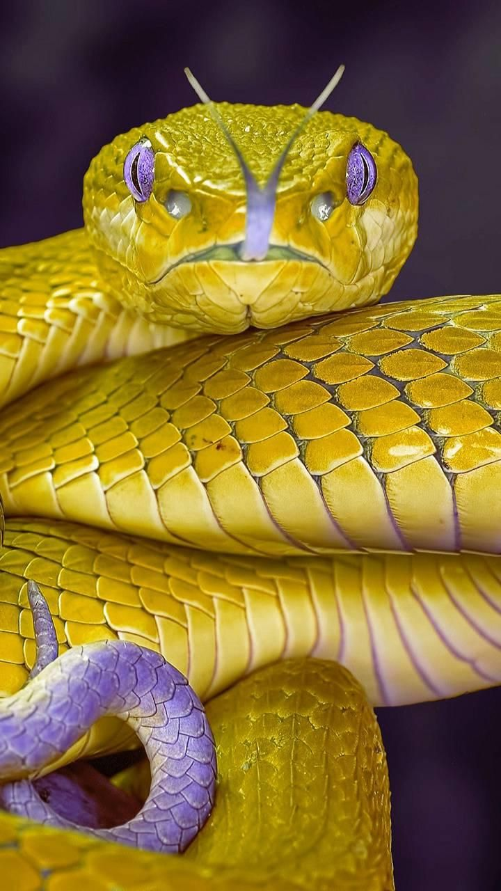 Pin By Anna Lena Klaus On Animal In 2020 Snake Wallpaper Golden Snake Beautiful Snakes