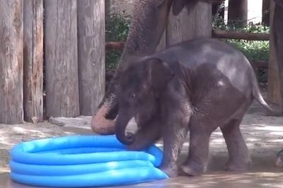 Baby elephant makes a splash in inflatable pool (VIDEO)