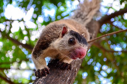 Peek-a-boo - Grizzled giant Squirrel, Habarana