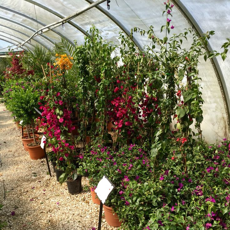 Beautiful Bougainvillea has just arrived at the nursery, we have shrubs and climbers available in various sizes.