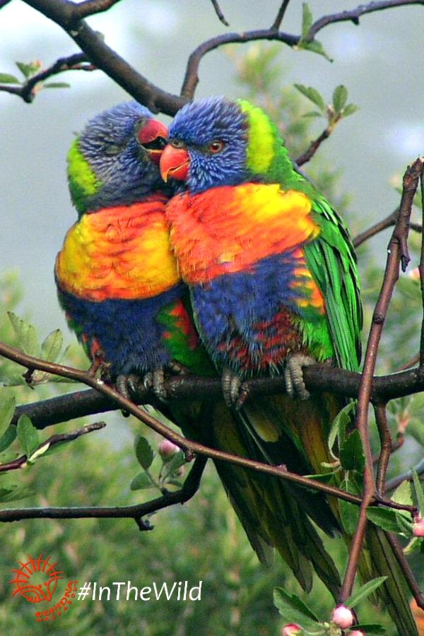 A Pair Of Rainbow Lorikeets Preening Each Other On Wildlife