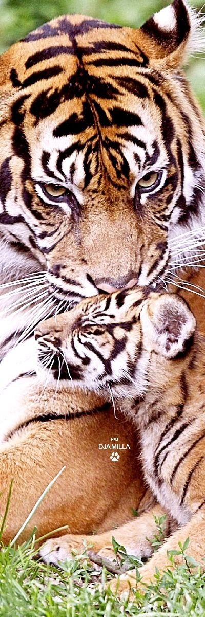 Flambant neuf 994 best Tiger images on Pinterest | Wild ones, Animal kingdom and  FO67
