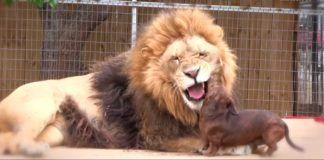 Se det unike vennskapet mellom løven og pølsehunden Milo!