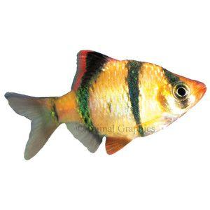 Tiger barb live fish petsmart fish aquarium for Tiger fish pictures