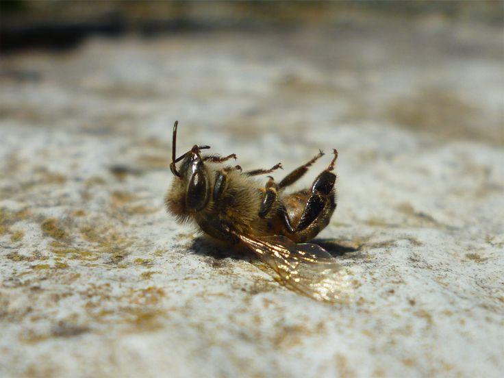 Νεκρή μέλισσα. Τους καλοκαιρινούς μήνες οι μέλισσες ζουν 30-35 ημέρες. A dead bee. Worker bees live, on average, 15-40 days in Summer and up to 140 days in Winter.