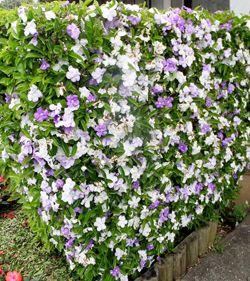 Brunfelsia-uniflora-(manaca-de-cheiro)