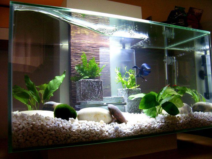 #Betta in #aquarium