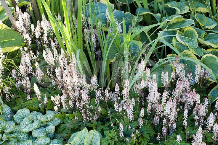 Hosta 'Frances Williams', Tiarella 'Pink Skyrocket' and Brunnera 'Jack Frost' in green planting