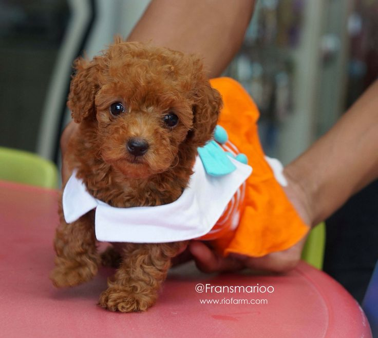 Cute female red poodle puppy  www.riofarm.com